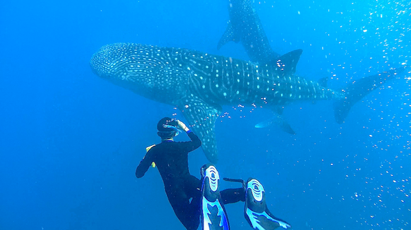 marine fellowship program economic research indonesia whale shark tourism