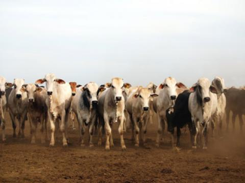 Image of Brazilian cattle at the edge of the rainforest